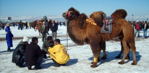 Velbloudí závody v Ulaanbaataru
